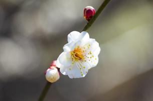 早春の白梅の写真素材 [FYI04793596]