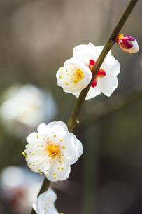 早春の白梅の写真素材 [FYI04793597]