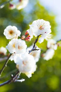 早春の白梅の写真素材 [FYI04793600]