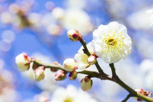 早春の白梅の写真素材 [FYI04793601]