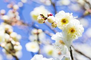 早春の白梅の写真素材 [FYI04793602]