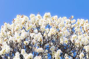 早春の白梅の写真素材 [FYI04793603]