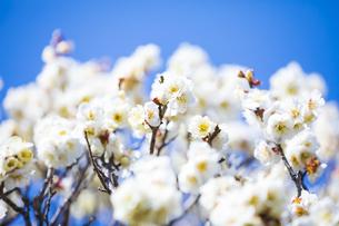 早春の白梅の写真素材 [FYI04793604]