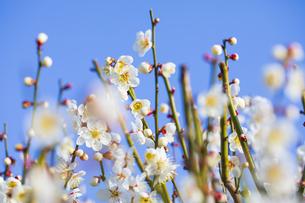 早春の白梅の写真素材 [FYI04793607]