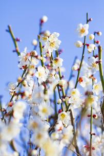 早春の白梅の写真素材 [FYI04793608]