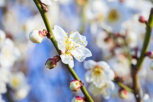早春の白梅の写真素材 [FYI04793610]