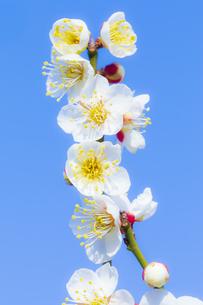早春の白梅の写真素材 [FYI04793611]