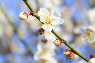 早春の白梅の写真素材 [FYI04793612]