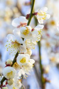 早春の白梅の写真素材 [FYI04793615]