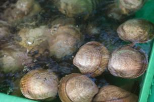 三本松港で水揚げされた赤貝の写真素材 [FYI04793754]