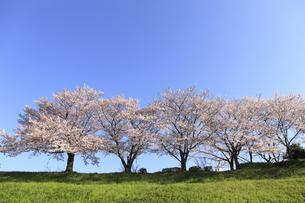 桜並木の写真素材 [FYI04794018]