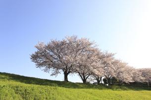 桜並木の写真素材 [FYI04794021]