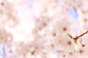 桜の花びらの写真素材 [FYI04794025]
