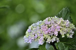 七色の紫陽花の写真素材 [FYI04794240]