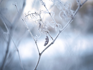 気嵐と枯れ木の写真素材 [FYI04794264]