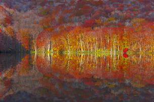 朝日で赤く染まる蔦沼の紅葉の写真素材 [FYI04794419]