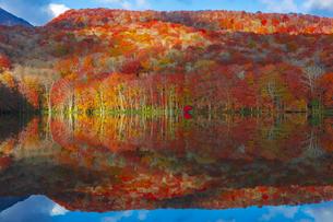 朝日で赤く染まる蔦沼の紅葉の写真素材 [FYI04794423]