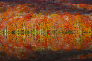 朝日で赤く染まる蔦沼の紅葉の写真素材 [FYI04794444]
