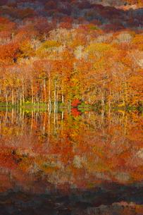 朝日で赤く染まる蔦沼の紅葉の写真素材 [FYI04794464]