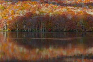 朝日で赤く染まる蔦沼の紅葉の写真素材 [FYI04794468]