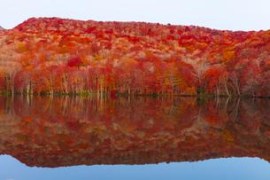 朝日で赤く染まる蔦沼の紅葉の写真素材 [FYI04794497]