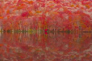 朝日で赤く染まる蔦沼の紅葉の写真素材 [FYI04794498]