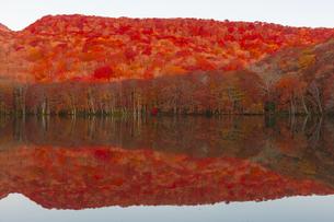 朝日で赤く染まる蔦沼の紅葉の写真素材 [FYI04794501]