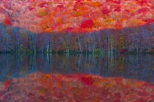 朝日で赤く染まる蔦沼の紅葉の写真素材 [FYI04794502]