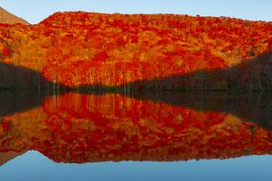 朝日で赤く染まる蔦沼の紅葉の写真素材 [FYI04794503]