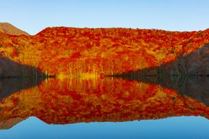 朝日で赤く染まる蔦沼の紅葉の写真素材 [FYI04794504]