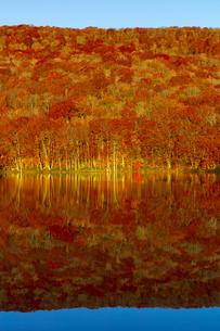 朝日で赤く染まる蔦沼の紅葉の写真素材 [FYI04794507]