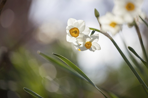 ニホンスイセンの花のクローズアップの写真素材 [FYI04794595]