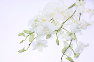 白背景の白いデンファレの写真素材 [FYI04794633]