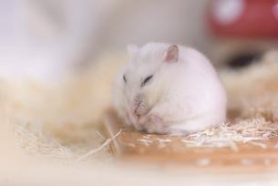 眠っているジャンガリアンハムスターの写真素材 [FYI04794813]