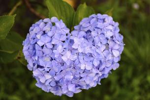 ハート型の紫陽花の写真素材 [FYI04794818]