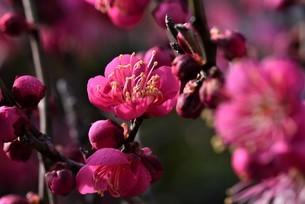 梅の写真素材 [FYI04795067]