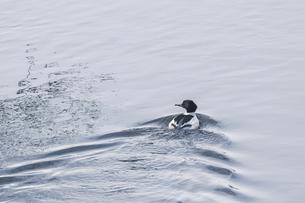 冬の川を進むカワアイサの写真素材 [FYI04795157]