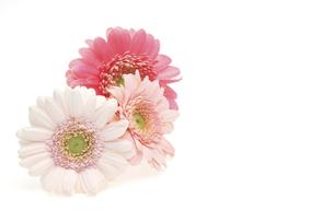 ガーベラの花首の写真素材 [FYI04795159]