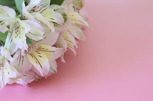 ピンク背景のアルストロメリアの花束 の写真素材 [FYI04795163]