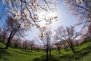 春の太陽が降り注ぐ桜が満開の公園の写真素材 [FYI04795170]