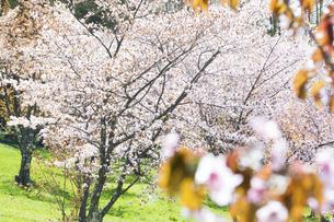 桜が満開の春の公園の写真素材 [FYI04795171]