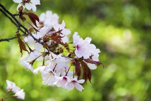満開の桜の花のクローズアップの写真素材 [FYI04795172]