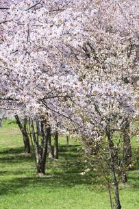 桜が満開の春の公園の写真素材 [FYI04795173]