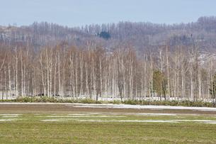 雪が残る緑の春の畑とシラカバ林の写真素材 [FYI04795177]