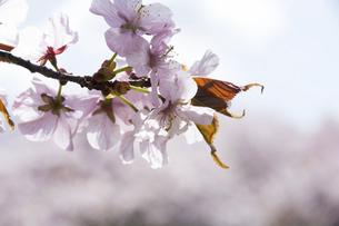 満開の桜の花のクローズアップの写真素材 [FYI04795182]