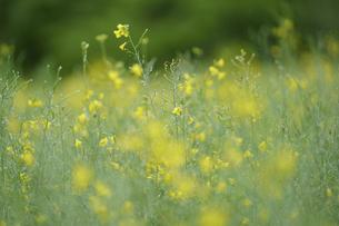 キガラシの花の写真素材 [FYI04795238]