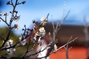 国営平城宮跡歴史公園東院庭園 白梅の写真素材 [FYI04795260]