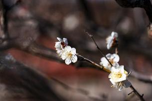 国営平城宮跡歴史公園東院庭園 白梅の写真素材 [FYI04795261]