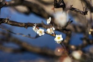 国営平城宮跡歴史公園東院庭園 白梅の写真素材 [FYI04795263]