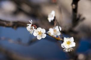 国営平城宮跡歴史公園東院庭園 白梅の写真素材 [FYI04795269]